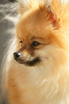 pomeranian coughing pomeranians before after and foxes on pinterest 9694