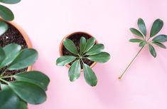Om du ändå ska plantera om och beskära dina krukväxter – passa på att ta sticklingar! En bra blomma att börja med är en pelargon men även elefantöra, monstera och murgröna är enkla växter att ta sticklingar på.