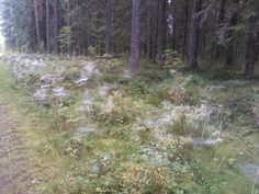 Dew on the grass early in the morning Early Morning, Finland, Grass, Mountains, Nature, Travel, Naturaleza, Viajes, Grasses