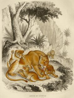 1855 Antique gorgeous engraving of a LIONESS by AntiquePrintsOnly