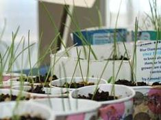 Onion seedlings being raised in pots  Ten Top Tips for Growing Onions from Seed