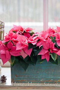 Pink Poinsettias for my parents and loved ones in Heaven ♡ You are loved and missed.