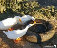 Easy Way to Keep your Chickens' Water from Freezing - No Electricity Needed | Fresh Eggs Daily®