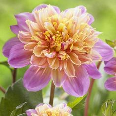 Dahlia Lifestyle. A fancy, two-tone dahlia with flamingo pink petals surrounding a golden yellow center. The compact plants stand just over 2 feet tall and never ...