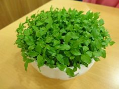 芭樂 ⚫ 心型的米色小豆豆 - 放到絲襪裡面洗,搓揉到種子跟果肉分開,處理方式跟火龍果一樣。洗好放在通風處乾燥,要冰、要馬上種,都可以。 ⚫ 澆水:兩天一次 -- 土耕法 》什麼品種的芭樂都可以 👉冬天種植發芽率不高 ★生長期大約只有 8mth 的美麗。 Herbs, Green, Food, Essen, Herb, Meals, Yemek, Eten, Medicinal Plants