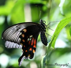 ~~The Great Mormon Butterfly by Adettara Photography~~