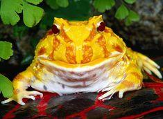 Argentine Horn Frog