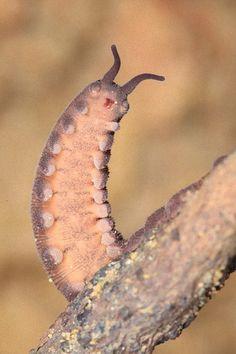 Eoperipatus totoros