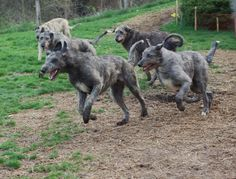 Can't you just imagine me train running with one of these guys? I'd name her Nymeria btw