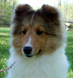 loving shetland sheepdogs | shelties are such wonderful dogs i love mine so much
