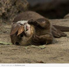 """Otter playing """"Peek-a-boo"""""""