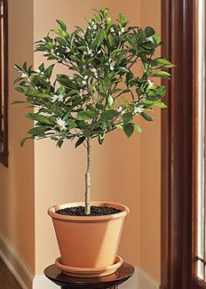 Container Gardening Tips, Growing Vegetables & Edible Plants, Indoor Gardening & Houseplants, Growing Trees & Shrubs - Indoor citrus trees d...
