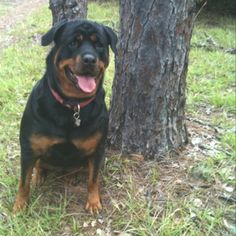 Rottweiler gentle giant.  Quite possibly my favorite breed.  I miss my rott, he was the best dog ever.