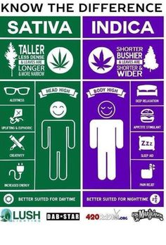 Indica and sativa are the two main types of cannabis.Cannabis is one of the oldest crops known to mankind, with records of its cultivation dating back thousands of years. Cannabis Edibles, Cannabis Oil, Cannabis Cultivation, Cannabis Plant, Weed Facts, Marijuana Facts, Endocannabinoid System, Medical Marijuana, Stoner Humor
