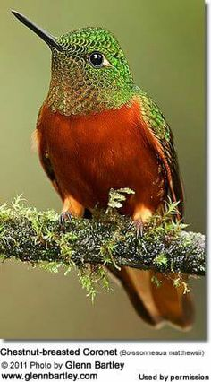 The Chestnut-breasted Coronet is a species of Hummingbird in the Trochilidae family. It is found in humid montane Andean forests in Colombia, Ecuador, and Peru. It is generally easily recognized by its contrasting rufous underparts. Kinds Of Birds, All Birds, Cute Birds, Pretty Birds, Little Birds, Beautiful Birds, Animals Beautiful, Exotic Birds, Colorful Birds