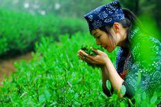 Junshan Yinzhen Tea Picking