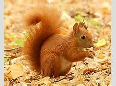 The red squirrel is one of Ireland's best loved mammals and definitely our best loved rodent. Yes, the red squirrel is a rodent, classified. Eastern Gray Squirrel, Red Squirrel, Scaredy Squirrel, Squirrel Tail, Animals Of The World, Animals And Pets, Cute Animals, Spirit Animal Totem, Squirrel Pictures