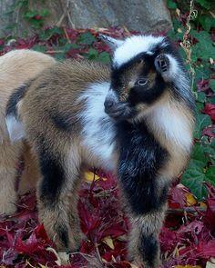 Nigerian Dwarf Goat Kid