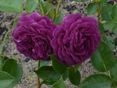 'Purple Eden ' Rose Photo