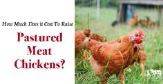Find out how much it cost us to raise ranging broiler chickens this year!