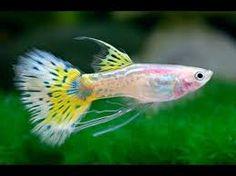 Resultado de imagen para pez leviste show