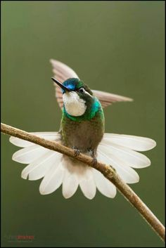 What a beauty with its beautiful dress!  White-throated Mountain-gem hummingbird perched on a branch.