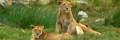 Observer les lions en safari en Tanzanie