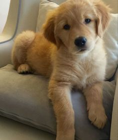 Cutest Golden Retriever Puppy On Baby Blue Chair. Cute Dogs And Puppies, Baby Dogs, I Love Dogs, Pet Dogs, Dog Cat, Doggies, Labrador Puppies, Corgi Puppies, Pomeranian Puppy