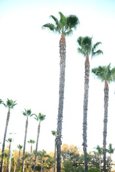 los angeles palm tre