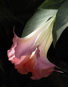 Angel trumpet-beautiful but poisonous.