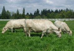 Murray Grey Cattle - Google Search