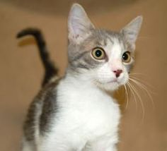 Little Orly is an adoptable Domestic Short Hair - Gray And White Cat in Prescott, AZ. Little Orlys Contact Info *** Questionnaire *** If you would like to meet Little Orly, please download the questi...