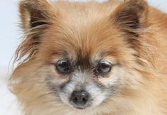 . . . a Pomeranian.  This is fluffy Flora who's available for adoption with National Mill Dog Rescue in Colorado Springs, CO.  3.29.16