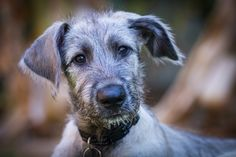 Grady our 3 month old Irish Wolfhound by Graeme Ditterich