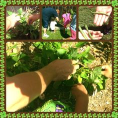 We planted and are now growing bush beans in the backyard.