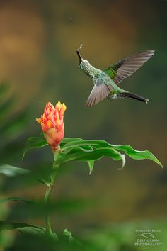 Acrobatic and Magnificent Hummingbird! Photographing hummingbirds is always a blast and sometimes you get lucky with a crazy pose. I was happy with this image of a female green-crowned brilliant turning its head 180 degrees while visiting a Costus flower in Costa Rica. Many of the multiple-flash hummingbird images from Costa Rica that you see on the web (including here at 500px.com) were taken at my setups by people who have come to learn this technique with me. If you're interested, check…