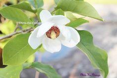 Magnolia Foto A4 str. Magnolia, A4, Plants, Pictures, Magnolias, Plant, Planets