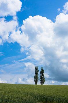 Poplars in summer hill