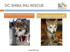 Fostering Commitment - Poster by DC SIR #Shiba #dog #foster #rescue