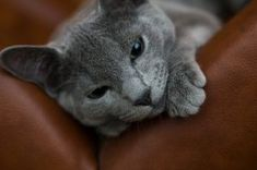 Russian Blue - Much of the Russian Blues' early history is unknown although they are thought to have originated in Russia. An earlier name for them was the Archangel Cat, as they were believed to come from a port city in Russia named Archangelsk. They were first imported into England in the late 1800s.