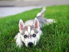 Siberian husky puppy #PuppyCare