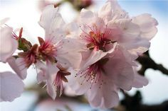 """Deidesheim / germany : in the land of the almond bloom - """"pink"""" spring starts    The German Wine Route wrapped himself in a magical pink almond blossoms look just after the gray winter."""