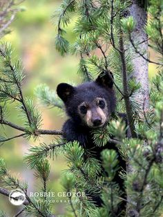 The pine tree and needles are beautiful and could be used for the owl tattoo. The bear cub is adorable and could be used if we are going with the father/son concept. Otherwise its just a darn cute bear cub trying to climb!