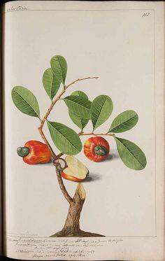 272792 Anacardium occidentale L. / Witsen, N., Jager, H. de, Plantae Javanicae pictae, ex Java transmissae anno MDCC, t. 132 (1700)