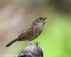 The House Wren - another sweet bird to have around. I usually put up about two or three houses, so they can decide which one they like best. ( I read this in a magazine. ) When they do have little ones, they get up before crack of dawn and keep up this hard work of feeding until it's practically dark. What a song to have in your yard. I have been blessed to see their families fly out, and learn from mom how to feed themselves.