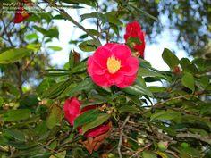 Camellia Japonica 'Guilio Nuccio' - bloom jan-march