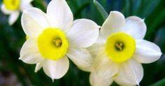 Το λουλούδι που αντιστοιχεί στο μήνα που γεννηθήκατε και τι συμβολίζει Narcissus Plant, Narcisse, Comment Planter, Flowers, Plants, Blog, Truths, Cancer, Tips