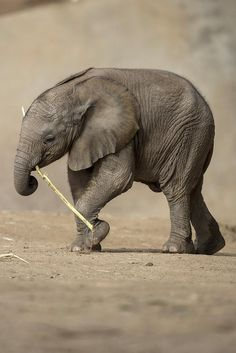 This baby elephant is loving her new toy:) #elephantlove #elephantconservation