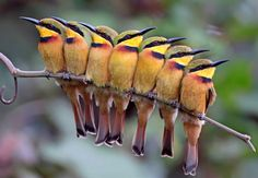 Group of little bee eaters by Kit Day