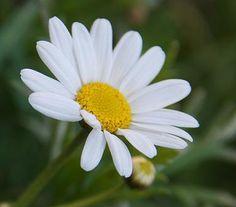 margaritas flores animadas - Buscar con Google
